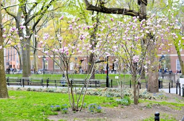 Magnolia Blossoms Washington Square Park