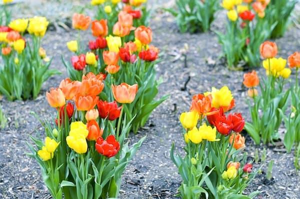 Tulips Washington Square Park